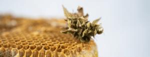 What are CBD Honey Sticks 2